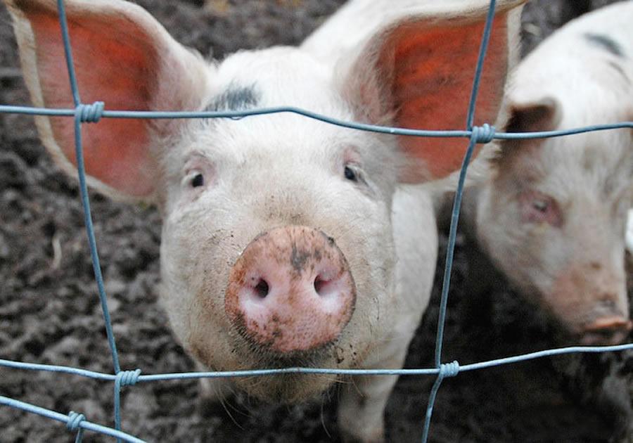 По предупреждению и ликвидации африканской чумы свиней инструкция